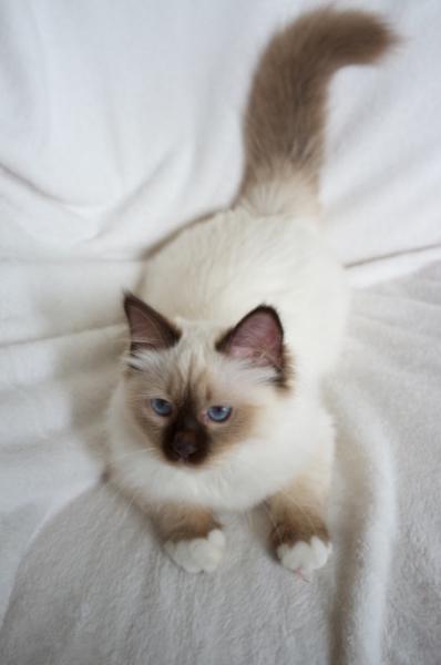 Csoki cica