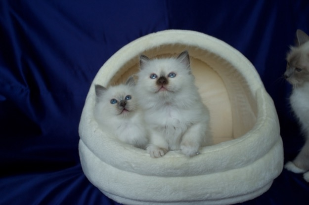 8 weeks old kittens